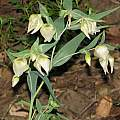 Calochortus albus, Diablo Foothills, Nhu Nguyen