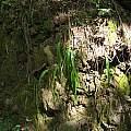 Calochortus albus, Nhu Nguyen