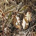 Calochortus amabilis, Nhu Nguyen