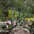 Calochortus amabilis, Tilden Botanic Garden, Nhu Nguyen