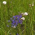 Calochortus catalinae, habitat, Mary Sue Ittner