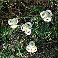 Calochortus eurycarpus, Mary Gerritsen