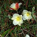 Calochortus exilis, subsection Ghiesbreghtiani, Mary Gerritsen
