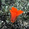 Calochortus kennedyi, Mary Gerritsen