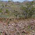 Calochortus kennedyi habitat, Carolyn Saarni