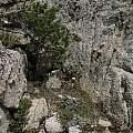 Calochortus leichtlinii, Sonora Pass, Nhu Nguyen