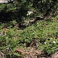 Calochortus leichtlinii, Yosemite NP, Nhu Nguyen