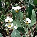 Calochortus leichtlinii, Donner Pass, Mary Gerritsen