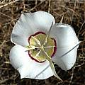 Calochortus macrocarpus var. maculosus, Mary Gerritsen