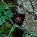 Calochortus nigrescens, Mary Gerritsen