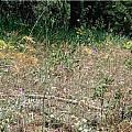 Calochortus nitidus, Mary Gerritsen