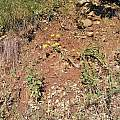 Calochortus pulchellus, Kipp McMichael
