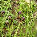 Calochortus spatulatus, Dennis Szeszko