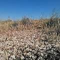 Calochortus striatus habitat, Kipp McMichael