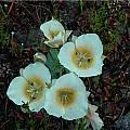 Calochortus subalpinus, Mary Gerritsen