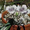 Calochortus tolmiei, Telos Rare Bulbs, Nhu Nguyen