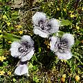 Calochortus tolmiei, Salt Point State Park, Mary Sue Ittner [Shift+click to enlarge, Click to go to wiki entry]