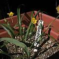 Calochortus monophyllus x Calochortus umbellatus, Bob Werra