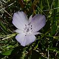 Calochortus uniflorus, Salt Point State Park, Mary Sue Ittner [Shift+click to enlarge, Click to go to wiki entry]