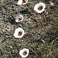 Calochortus vestae, Sonoma Co., CA, Nhu Nguyen