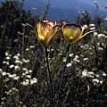 Calochortus intermedius, Ron Parsons