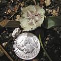 Calochortus westonii, Bob Rutemoeller