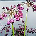 Calostemma purpureum, Susan Hayek