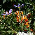 Calydorea xiphioides, Nhu Nguyen