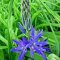 Camassia leichtlinii ssp. suksdorfii, Kathleen Sayce