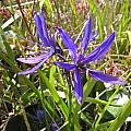 Camassia quamash, Bob Rutemoeller [Shift+click to enlarge, Click to go to wiki entry]
