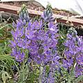 Camassia quamash var. maxima, Jane McGary