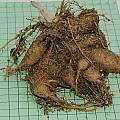 Canarina canariensis tuber, Mary Sue Ittner