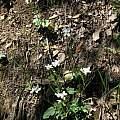 Cardamine california, Tulare Co., Nhu Nguyen