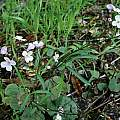 Cardamine californica, Mary Sue Ittner