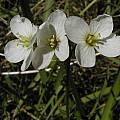 Cardamine californica var. integrifolia, Bob Rutemoeller