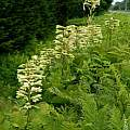 Cardiocrinum cordatum, Japan: Hokkaido, along road verges in great numbers, 24 July 2011, Laurence Hill