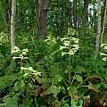 Cardiocrinum cordatum, Japan: Hokkaido, nr. Lake Tofutsu, very moist woodland – Acer mono, Alnus japonica, Arisaema serratum, Fraxinus mandshurica, Hosta rectifolia, Iris setosa, 23 July 2011, Laurence Hill