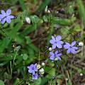 Chamaescilla corymbosa, Mary Sue Ittner