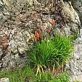 Chasmanthe floribunda, Nhu Nguyen