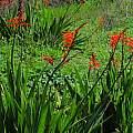 Chasmanthe floribunda, Brackenfell, Mary Sue Ittner