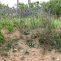 Red Rhodophiala, blue Pasithea, and purple Schizanthus along Route 5, Eugene Zielinski