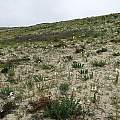 Hillside with Rhodophiala ananuca, between Huasco and Carrizalillo, Eugene Zielinski