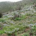 Hillside with Nolanas near Taltal, Eugene Zielinski