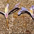 Chionodoxa luciliae forms, Travis Owen