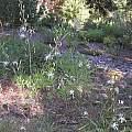 Chlorogalum pomeridianum, Bob Rutemoeller
