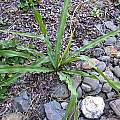 Chlorogalum pomeridianum leaves, Bob Rutemoeller