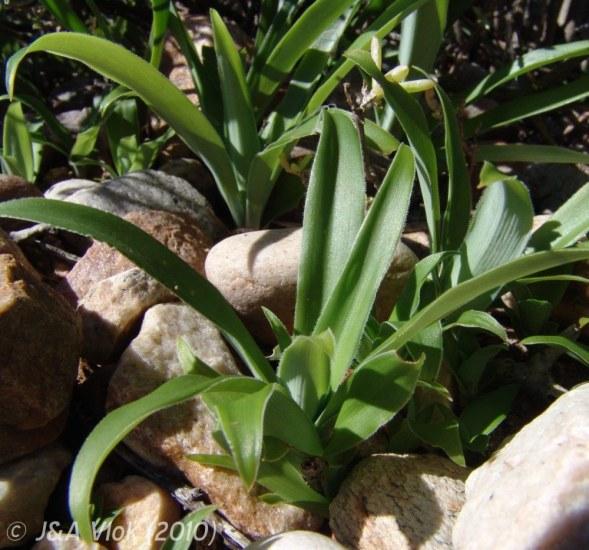 10 seeds Giant Spider Plant Chlorophytum krookianum Hardy Spider Plant