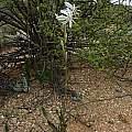 Chlorophytum crassinerve, Carolusberg, Cameron McMaster