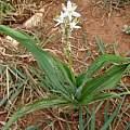 Chlorophytum rubribracteatum, Nicholas Wightman