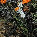 Chlorophytum undulatum, Calvinia, Mary Sue Ittner [Shift+click to enlarge, Click to go to wiki entry]